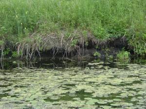 pond nuisance